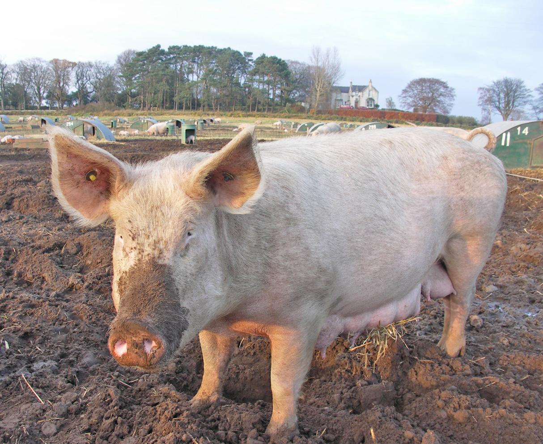 ekologisk_gris