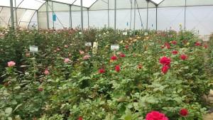 Rosodling i växthusen