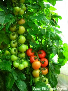 Tomat_08